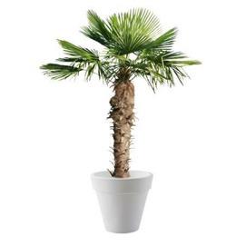 location-plante-naturelle-evenement-paris-lille-palmier-chamerops-1
